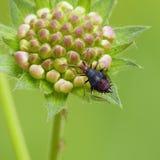 Het insectennimf van het gras Royalty-vrije Stock Afbeeldingen
