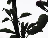 Het inspecteren van de mier appelboom Royalty-vrije Stock Foto
