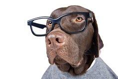 Het intelligente Kijken Chocolade Labrador Stock Foto's