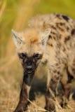 Het intimideren Bevlekte Hyena Stock Afbeeldingen