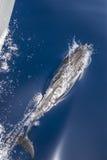 Het jacht van de dolfijnescorte Royalty-vrije Stock Afbeeldingen