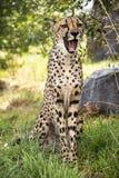 Het jachtluipaardportret, zou lachen, kunnen geeuwen of verrast royalty-vrije stock afbeeldingen