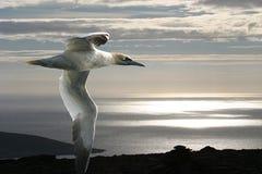 Het jan-van-gent en de NoordpoolOceaan. Stock Afbeeldingen
