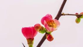 Het Japanse crabapple tot bloei komen