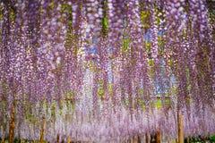 Het Japanse Festival van Fuji Wisteria stock foto's