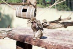 Het Japanse macaqueaap spelen met zijn eigen voet royalty-vrije stock foto