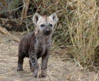 Het jong van de hyena Stock Foto's