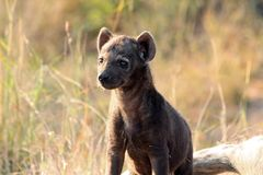 Het Jong van de hyena Stock Afbeelding