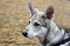 Het jong van Saarloos wolfdog stock foto