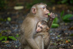 Het jonge aap koesteren Stock Foto's