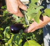Het jonge aubergine oogsten Stock Foto