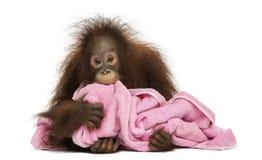 Het jonge Bornean-orangoetan liggen, die een roze handdoek knuffelen Stock Foto