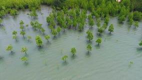 Het jonge Bos van de Mangroveboom bij Kust dichtbij Strand in Koh Phangan, Thailand HD antenne stock videobeelden