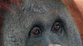 Het jonge bruine zicht van de orangoetanaap stock videobeelden