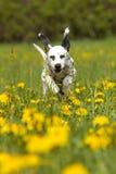 Het jonge Dalmatische junmping door paardebloem Stock Afbeeldingen