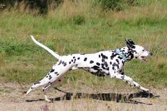 Het jonge Dalmatische lopen op gebied Stock Foto's