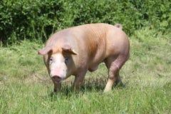 Het jonge duroc rassenvarken weiden in natuurlijk milieu stock foto's
