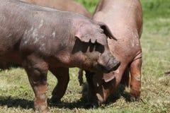Het jonge duroc varkensstapel weiden op de zomer van het landbouwbedrijfgebied stock foto's