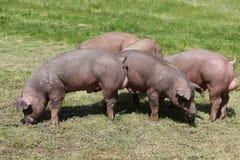 Het jonge duroc varkensstapel weiden op de zomer van het landbouwbedrijfgebied royalty-vrije stock afbeeldingen