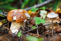 Het jonge eekhoorntjesbrood groeien in hout in de herfst royalty-vrije stock afbeeldingen
