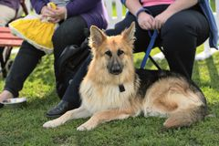 Het jonge Elzassische (Duitse herder) hond liggen Stock Afbeelding