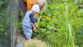 Het jonge geitje en de vrouw die gewas van komkommers controleren stock videobeelden