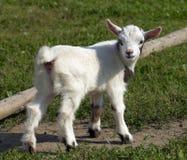 Het jonge geitje van de geit Royalty-vrije Stock Afbeelding
