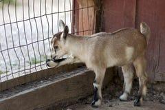 Het jonge geitje van de geit bij omheining Stock Fotografie