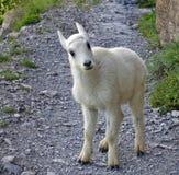 Het Jonge geitje van de Geit van de berg Royalty-vrije Stock Afbeelding