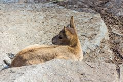 Het jonge geitje van de Kaukasische reis van het Oosten speelt bij de rotsen Royalty-vrije Stock Afbeelding