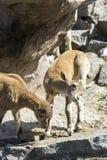 Het jonge geitje van de Kaukasische reis van het Oosten speelt bij de rotsen Royalty-vrije Stock Afbeeldingen
