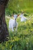 Het jonge geitjetribune van babygeiten in de zomergras De jonge geiten weidt in een weide royalty-vrije stock foto
