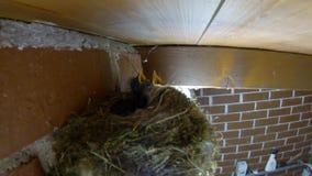 Het jonge gillen met vogelsgeluid stock videobeelden