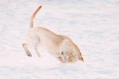 Het jonge grappige de hond van Labrador spelen in sneeuw, wintertijd Royalty-vrije Stock Foto