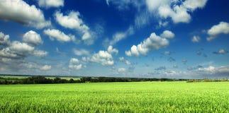 Het jonge Groene Gebied van de Tarwe Stock Fotografie
