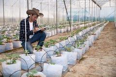 Het jonge groene meloen of kantaloep groeien stock fotografie