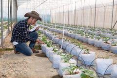 Het jonge groene meloen of kantaloep groeien in de serre royalty-vrije stock foto