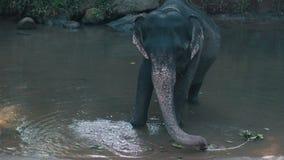 Het jonge Indische olifant baden in de rivier stock videobeelden