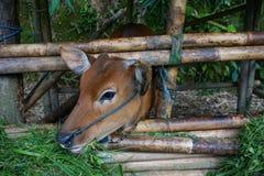Het jonge kalf in de pen op het de landbouwgebied van Ubud-dorp, Eiland Bali, Indonesië Sluit omhoog stock foto's