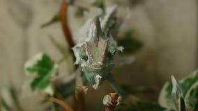 Het jonge kameleon in de bladeren verandert zijn huid stock footage