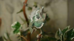Het jonge kameleon in de bladeren verandert zijn huid stock videobeelden