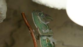 Het jonge kameleon op het takje verandert zijn huid stock footage