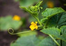 Het jonge, kleine, bloeiende groene komkommer groeien in de tuin in de tuin in openlucht Stock Afbeeldingen