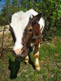 Het jonge koe weiden in de lente royalty-vrije stock fotografie