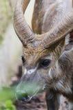 Het jonge Kudu-mannetje, leidt dicht omhoog geschoten, mooi dier stock foto's