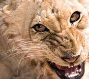 Het jonge leeuwin snauwen Royalty-vrije Stock Foto's