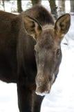 Het jonge Letten op van Amerikaanse elanden Royalty-vrije Stock Foto