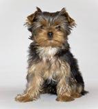 het jonge leuke het puppy van Yorkshire Terrier stellen op een witte achtergrond Huisdier Royalty-vrije Stock Afbeeldingen