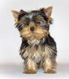 het jonge leuke het puppy van Yorkshire Terrier stellen op een witte achtergrond Huisdier Stock Afbeeldingen