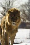 Het jonge mannelijke leeuw lopen Stock Foto's